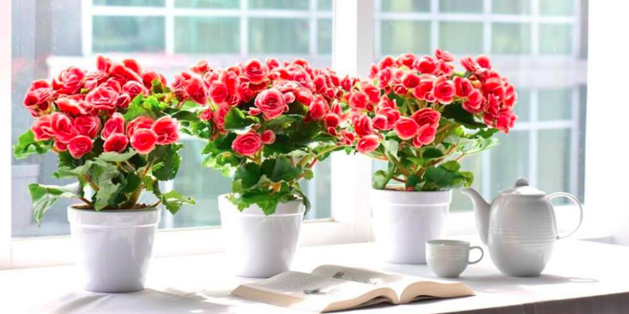 hoa hai duong
